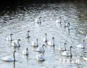 Hải Phòng: Tiếp tục thả 65 đôi thiên nga xuống sông Tam Bạc