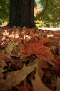 Use leaves as a carbon source in your garden then feed your lawn in fall