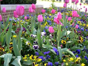 Fall planted pansies and Tulips planted in fall will be a treat next spring