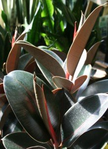 Foliage Houseplants brighten a room and clean the air