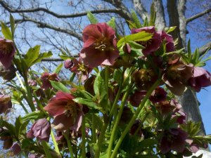 Hellebores in bloom along the trail