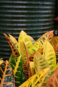 "Don't forget Crotons are not just a ""houseplant""....great for containers on the deck or patio to combine with flowering annuals"
