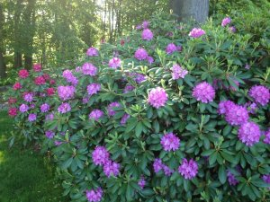Rhododendrons love the Lake Michigan shoreline area....Well drained soil, slightly acidic and plenty of insulating snow in winter