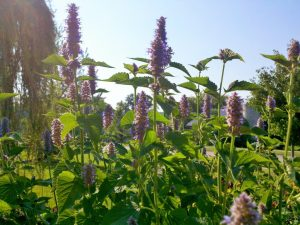 Agastache in bloom. Its sweet licorice aroma and colorful blooms a magnet for bees, butterflies and hummingbirds