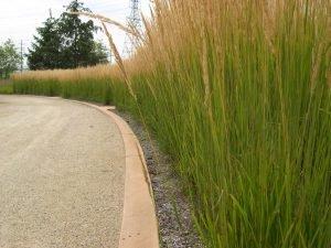 Calamagrostis Karl Foerster lines a drive