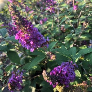 Lo and Behold Butterfly Bush