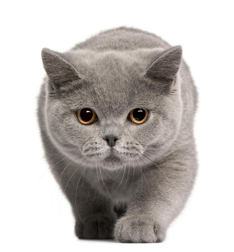 القط البريطاني قصير الشعر
