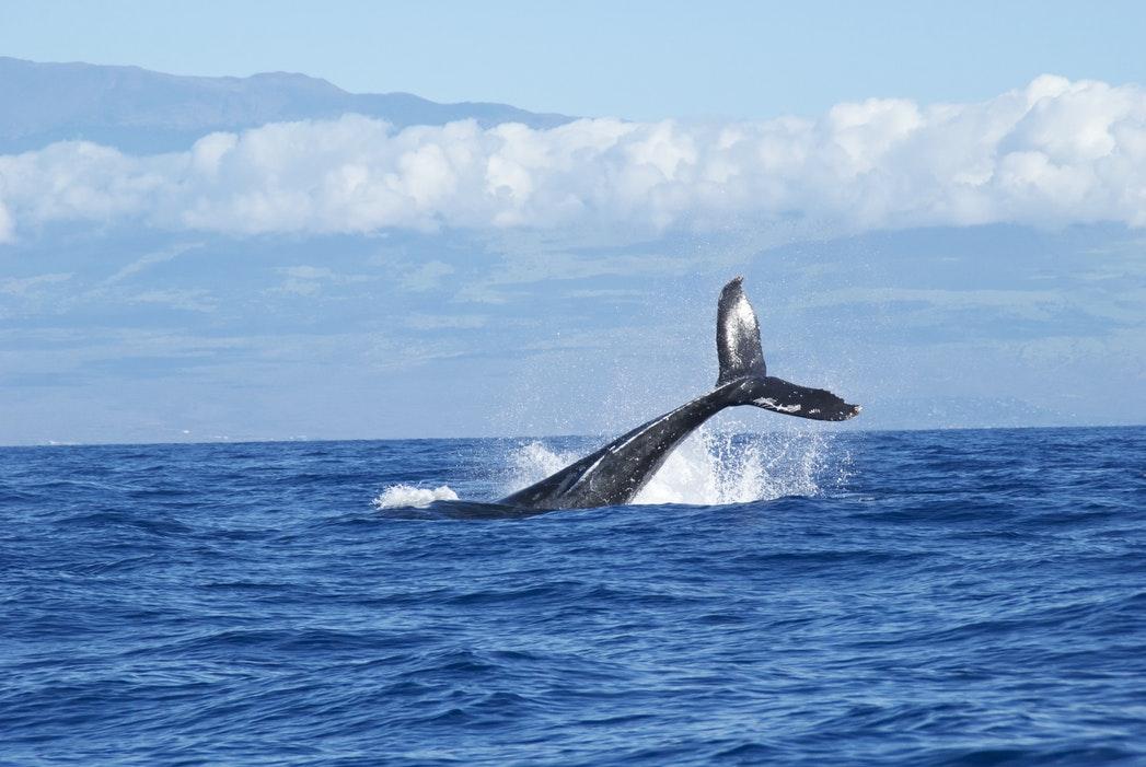 Hawaii Bucket List - Whale Watching