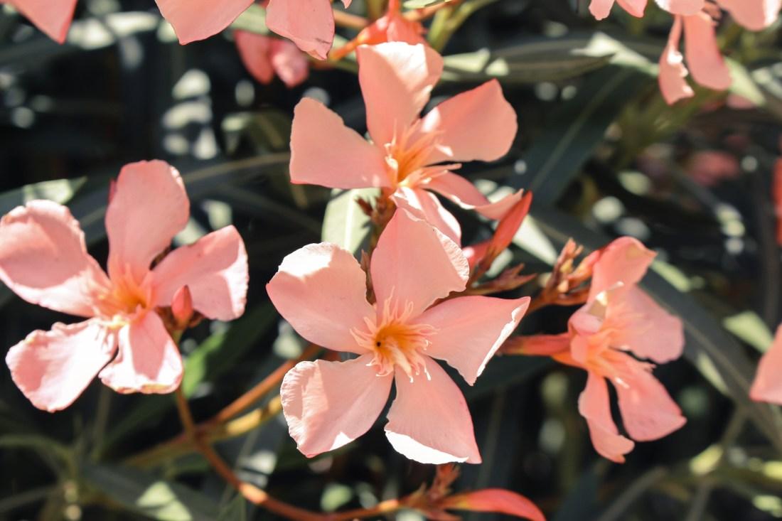 Pink flowers growing in a bush