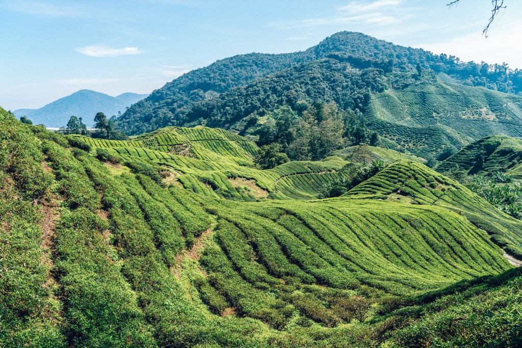 Rolling green terraces of tea plants in the Cameron Highlands, Malaysia.