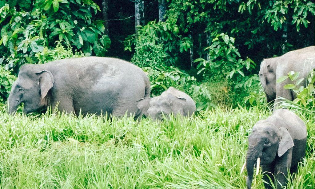 Asian pygmy elephants grazing in Borneo, Malaysia.