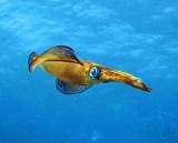 Squid, Dahab
