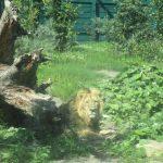 A Lion at the Dublin Zoo