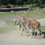 The giraffes at the Dublin Zoo