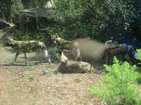 African Painted Dogs at the Dublin Zoo