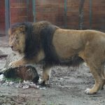 A lion at the Budapest Zoo