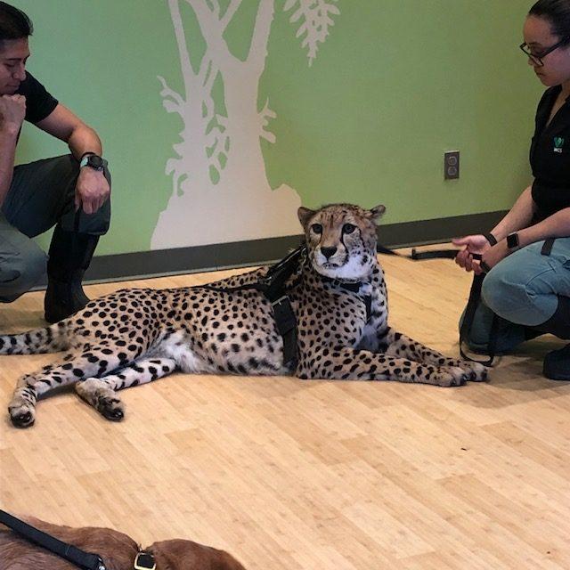 A cheetah at a meet-n-greet at the Bronx Zoo - 2019
