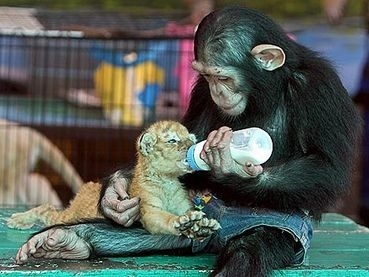 chimp with baby bottle