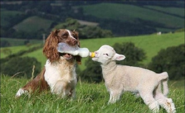 dog with baby bottle and lamb