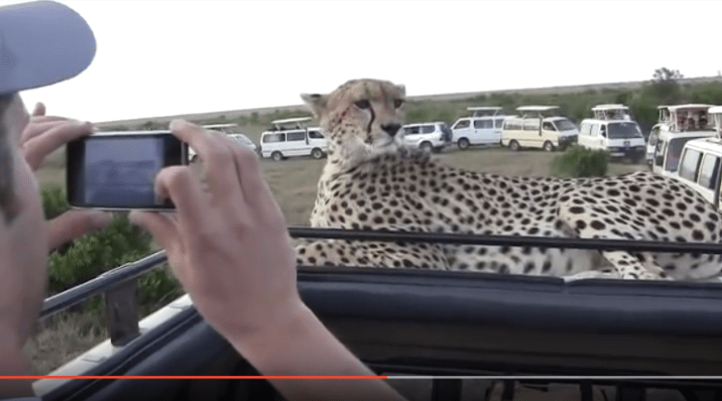 cheetah at rest on roof of tour van