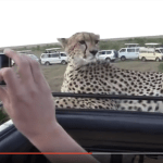 See Cheetah Going Creepy Wally on Land Rover Driver