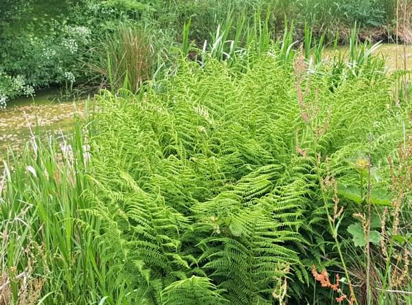 Wild plants: Fern