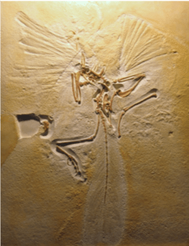 Archaeopteryx type specimen fossil in the Natural History Museum