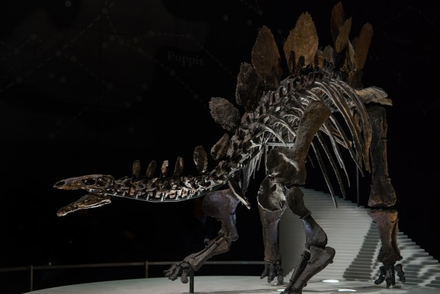 Sophie, one of the Natural History Museum's most complete Dinosaur Skeletons