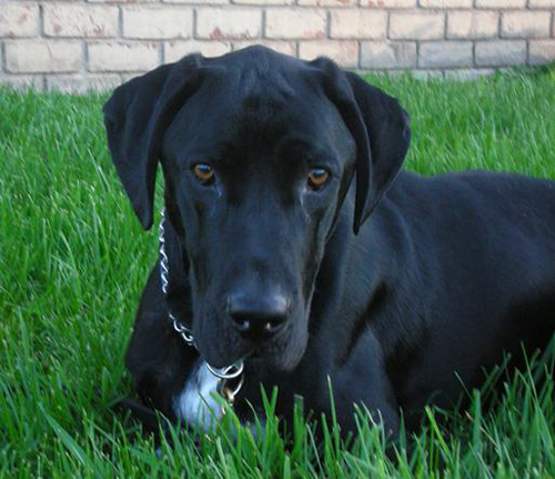 Ace the cute black lab mix lying in the grass