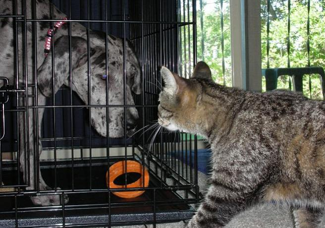Blue merle great dane in kennel with gray tabby cat approaching