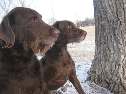 Chocolate colored labradoodle and pudel pointer in the snow