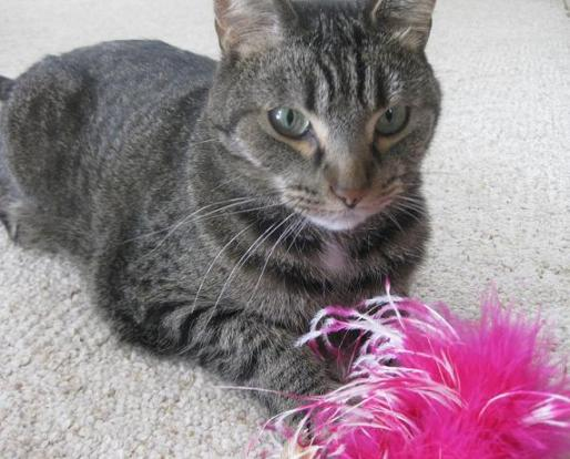 Tabby cat with pink toy