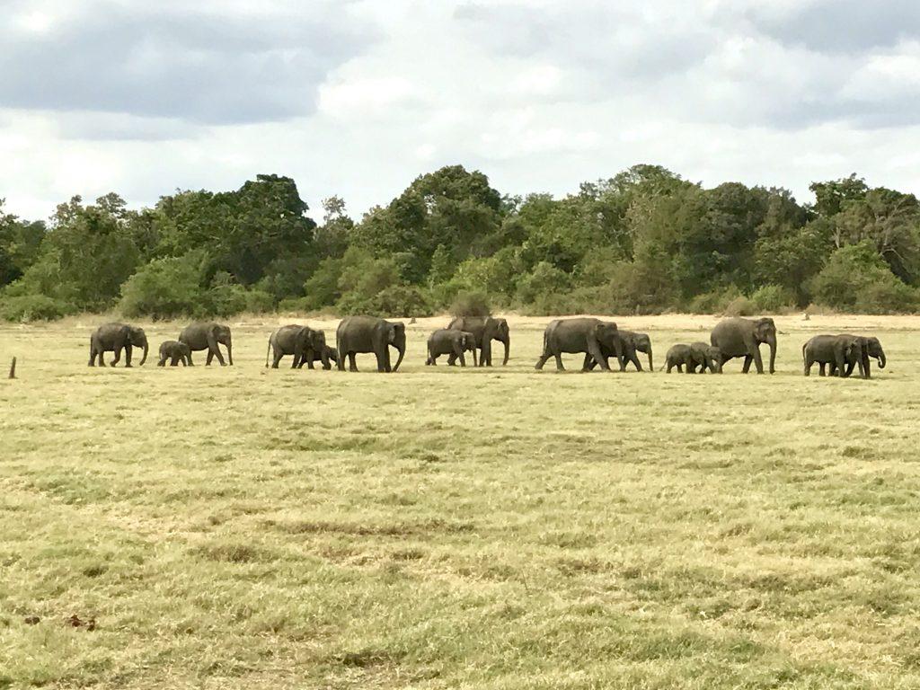 Op jeepsafari om olifanten te spotten in Minneriya, Sri Lanka