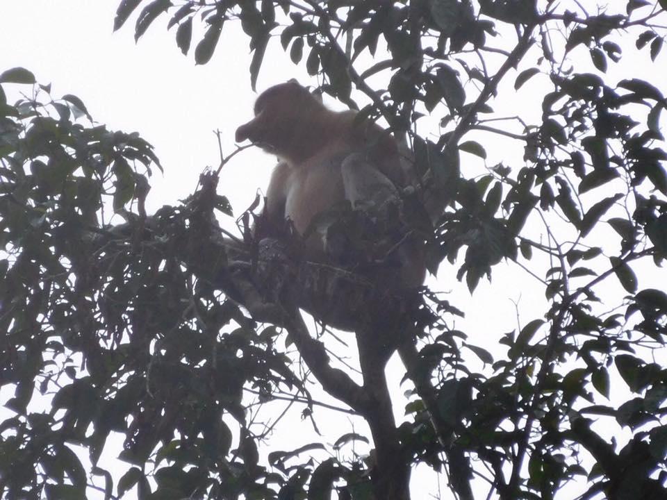 Labuk Bay Proboscis Monkey Sanctuary in Sandakan