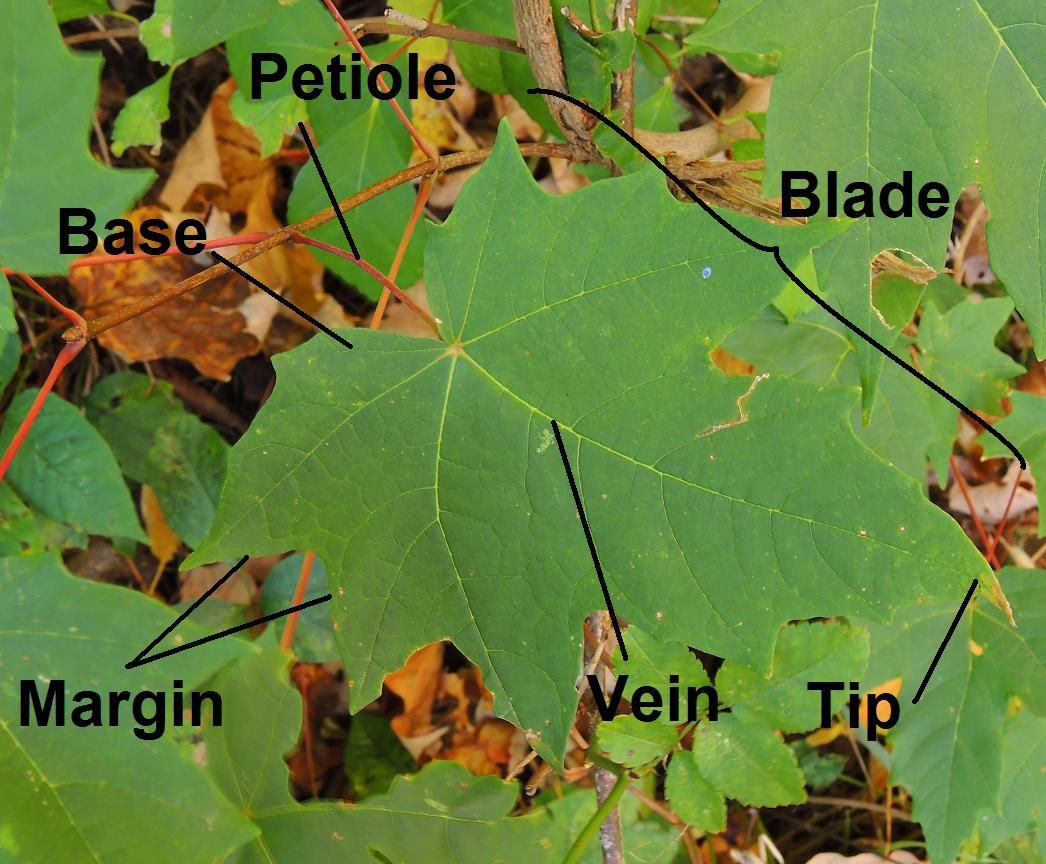 Parts Of A Leaf A Diagram