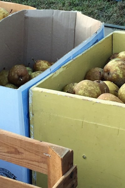Picking Pears