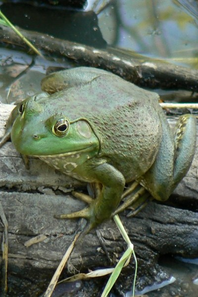 From the Model A Archives:  In the Company of Frogs