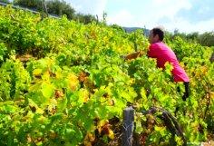 Brian the grapes picker