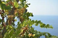 grapes in Cinque Terre