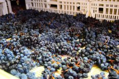 drayed grapes for sciacchetrà
