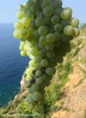 grapes of Sciacchetrà3