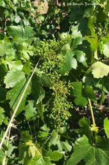 wineyards of Riomaggiore