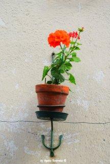 flower in Santo Stefano d'Aveto