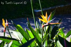 flowers in Nervi Parks