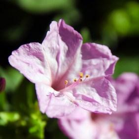 macro flower closeup pink
