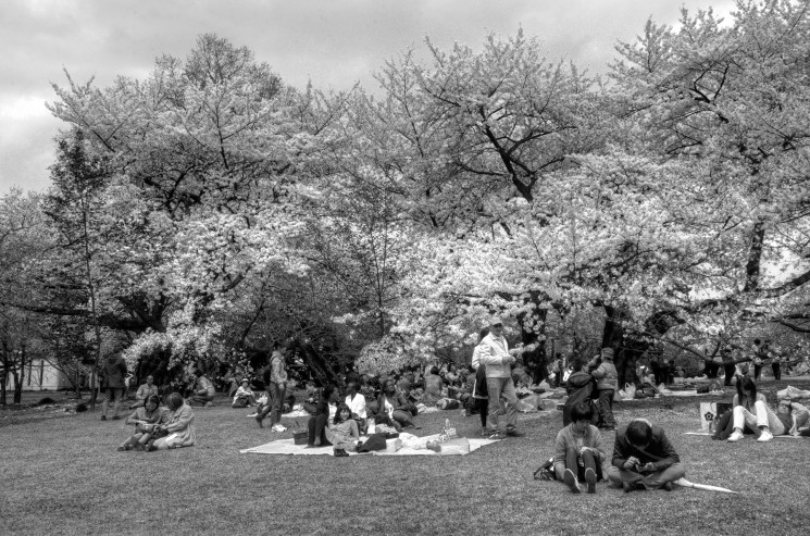 Lots of people having a picnic under the Cherry Blossoms