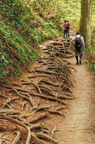 Exposed Tree Roots on the Trail up Mount Takao