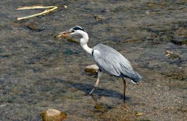 Stork eating fish, Kyoto Japan