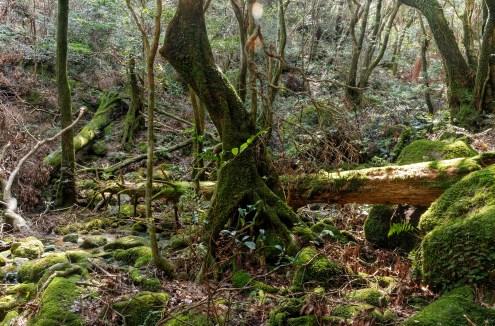 Japanese cedar trees, Yakushima island, Japan