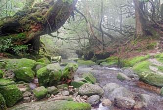 Large Japanese cedar tree over the river, Yakushima island, Japan